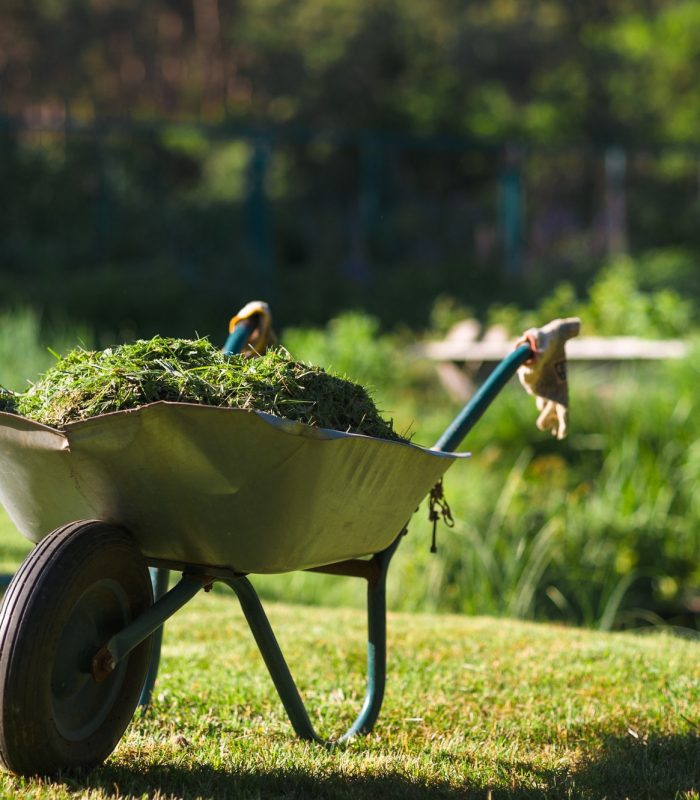 Heavily used wheelbarrow full of mowed grass standing on the freshly cut lawn
