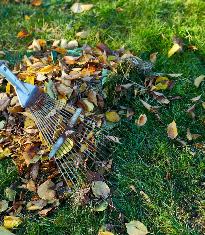 Old red rake in a pile of fall maple leaves, Raking autumn leaves on grass lawn
